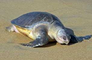 تخم گذاری لاک پشت زیتونی در سواحل جزیره کیش
