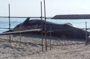 آغاز بررسی و نمونه برداری از لاشه نهنگ به گل نشسته در کیش